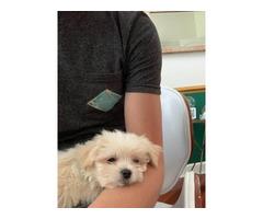 8 weeks old Shihtzu Maltipoo puppy