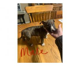 Three Bull Terriers Available