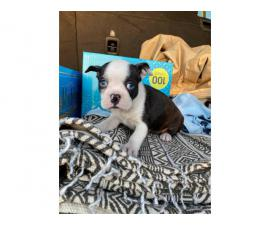 Boston Bull Terrier Puppies for Sale