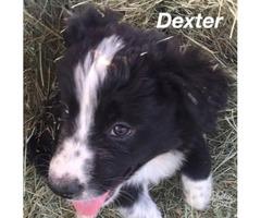 Collie/Aussie mix puppies