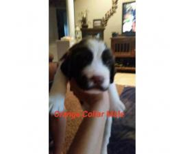English Springer Spaniel Puppies up to date on shots and have AKC registration papers