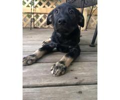 10 weeks old Shepherd Puppies for Sale