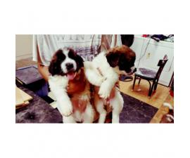 St.bernard Puppies For re-homing