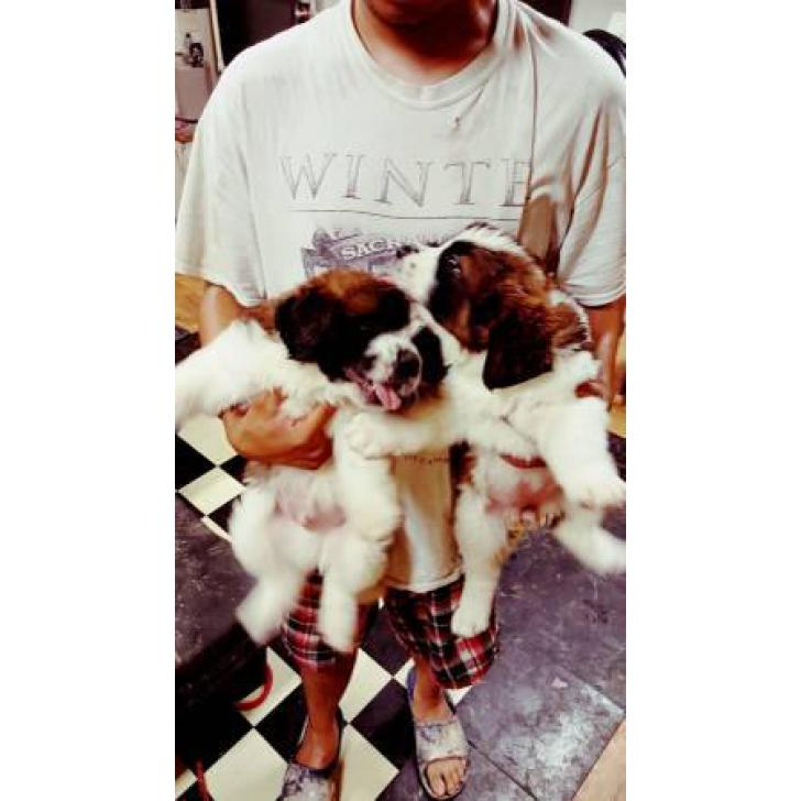 St Bernard Puppies For Re Homing In Las Vegas Nevada Puppies For Sale Near Me