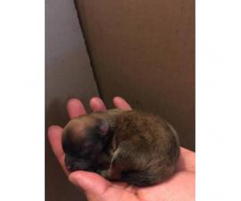 Beautiful males and females purebred Pomeranian puppies