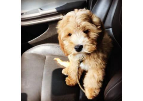Adorable 4.5 month old make Cavapoo puppy for sale