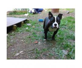 Up for adoption 8 month old American Bully
