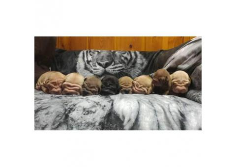 Male & Female Shar pei Puppies for Sale