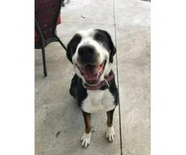 Greater Swiss Mountain Dog Looking for a responsible family to adopt