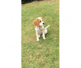 4 month old Cavalier King Charles available