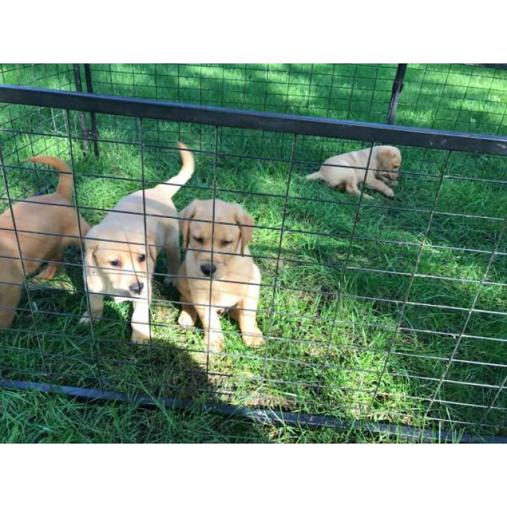 4 AKC Yellow Lab Puppies For Sale In Washington USA