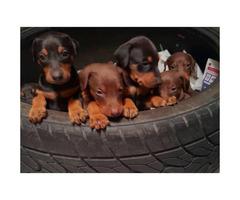 Black & Rust, Fawn & Rust Doberman Pinscher Puppies for Sale