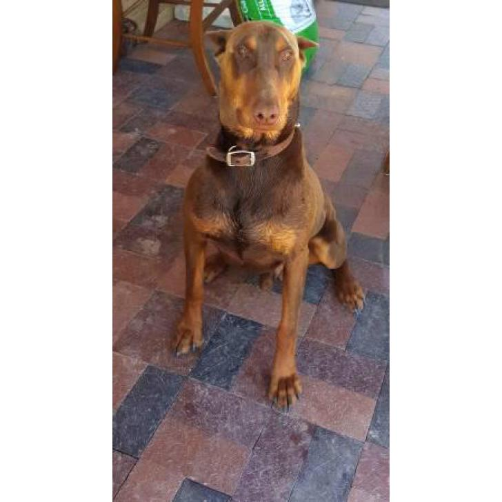 Black Amp Rust Fawn Amp Rust Doberman Pinscher Puppies For Sale In Albuquerque New Mexico