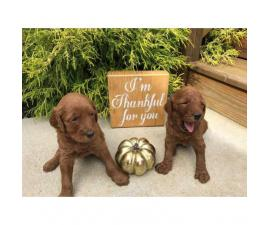 Super cute red Goldendoodle puppies