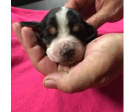 Full blooded basset hound puppies looking for a forever home