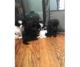 5 beautiful Teddy Bear  Bichon Frise and a Shih Tzu mix Puppies