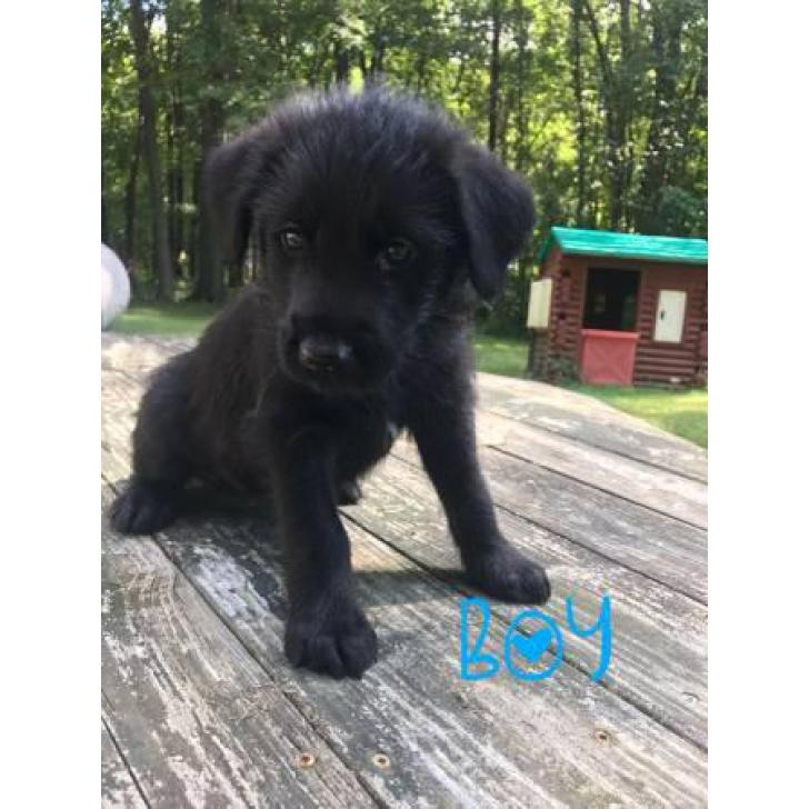 Norwegian Elkhound Mix With St Bernard Puppies In Mansfield Ohio Puppies For Sale Near Me