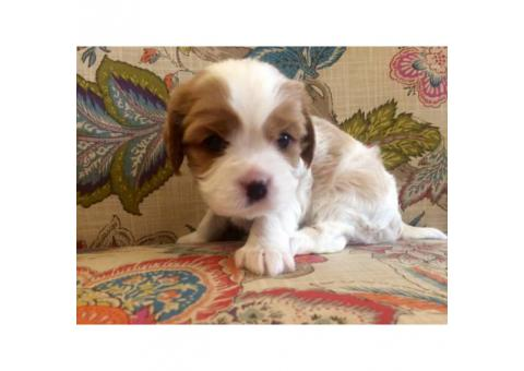 2 adorable Cavalier puppies available for adoption.