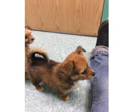 4 yorkie mix puppies ready to go