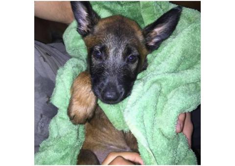 Belgian Malinois Puppy for sale $1000