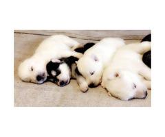 Siberian Husky puppies DRA reg