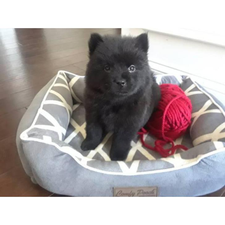 2 Beautiful Black 8 week old Female Chow-Chow Puppies ...