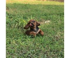 mini daschund puppy