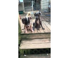 2 full blooded female Xoloitzcuintli puppies