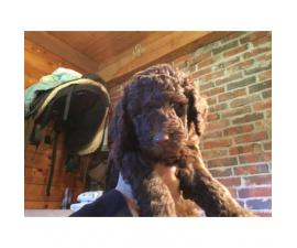 AKC Standard Poodle puppies with limited registration
