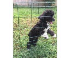 Non shedding Female cockapoo puppy for sale