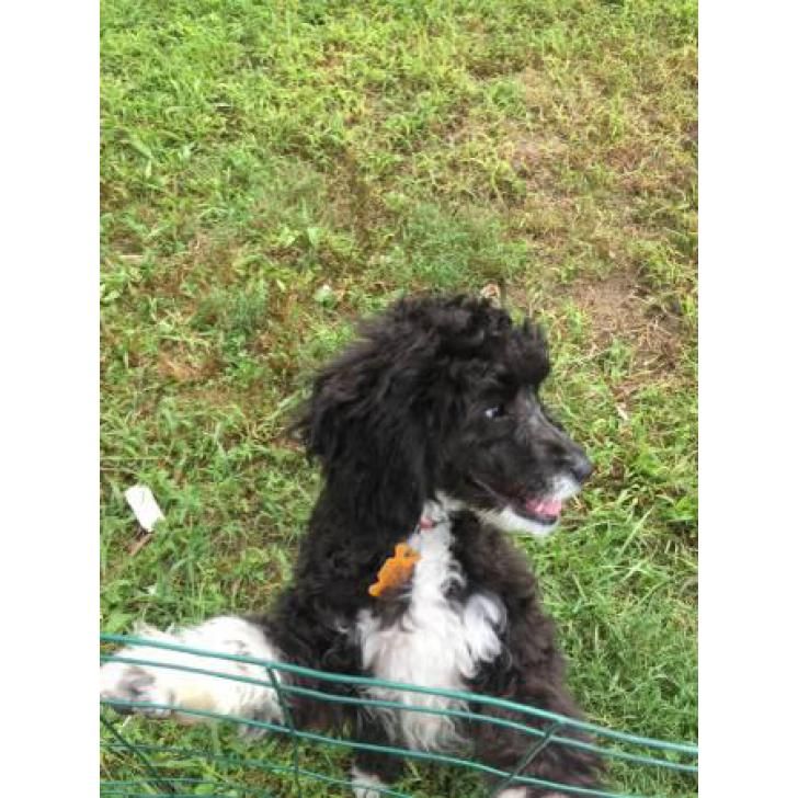 Non Shedding Female Cockapoo Puppy For Sale In North Wildwood New Jersey Puppies For Sale Near Me