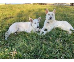 AKC White German Shepherd puppies for Sale