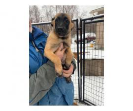 3 AKC Belgian Malinois For Sale