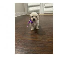 4 Adorable Bichon puppies for sale