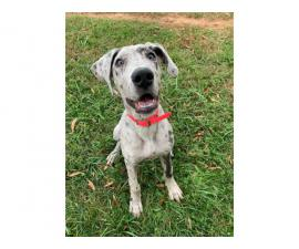 AKC Great Dane Puppy for Sale