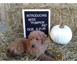 Healthy Aussiedoodle puppy for sale