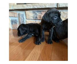 10 Mastiff puppies available to a new loving home