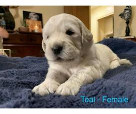 4 AKC Golden Retriever Puppies for Adoption