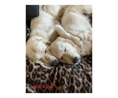 4 AKC Golden Retriever Puppies for Adoption