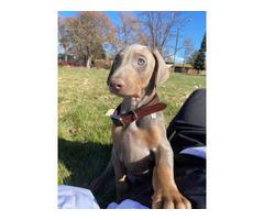 8 weeks old fawn Doberman puppy