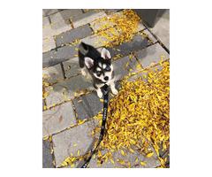 12 weeks old Alaskan klee kai puppy for sale