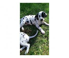 Registered Dalmatian Puppies