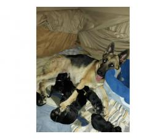 5 girls and 2 boys AKC German Shepherd Puppies