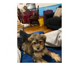 Yorkie Poodle Puppy