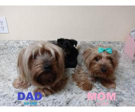 4 Yorkshire Puppies Available