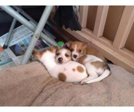 6 Rat Terrier Chihuahua puppies for Sale