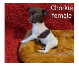 9 weeks old Chorkie puppies for sale