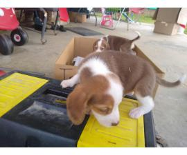 AKC Beagle Puppies