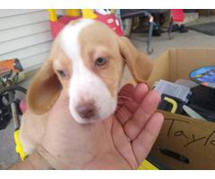 AKC Beagle Puppies