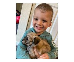 Super sweet Havapoo puppies for adoption